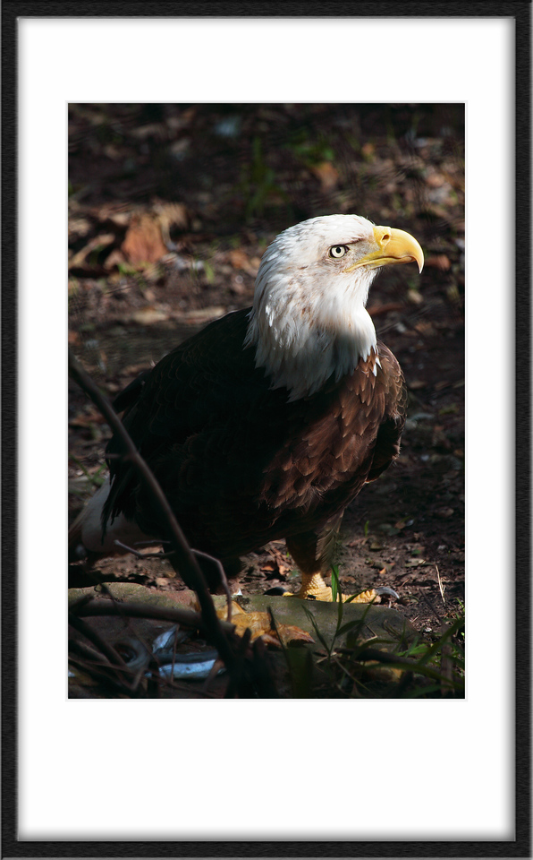Bald eagles were all handicapped (rescued). One of them was missing an eye, and I don't think this fella could make it up in the trees.