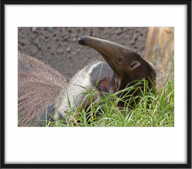 Anteater. Fast fellows.