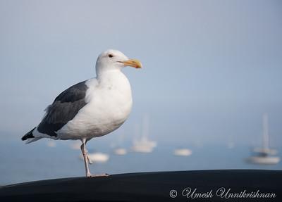 Seagull on the SB Marina
