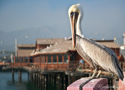 Pelican on the marina