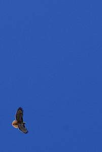 Soaring redtail hawk