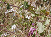 An unidentified pink/purple flowering vine.  The white flowers are probably wild radish.