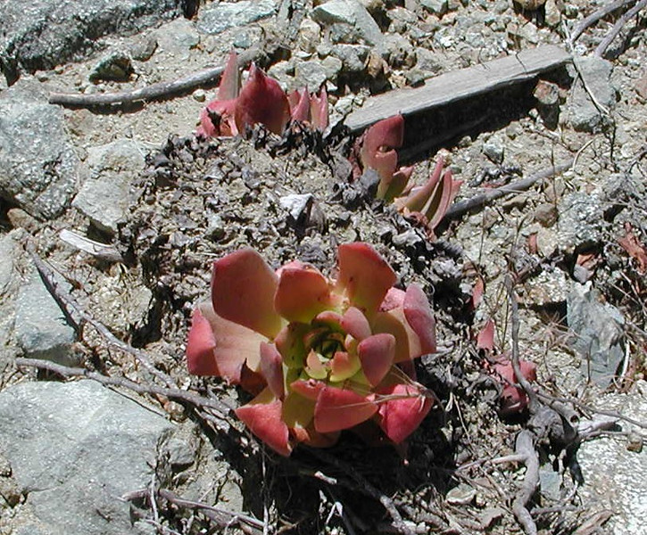 Succulent leaves of the dudleya plant.