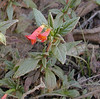 An unidentified red flower.