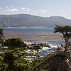 "The ""Lone Cypress"" near Carmel Bay -- something of a local celebrity."