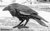 Raven Sculpture