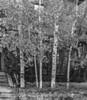 Aspen in Autumn in Santa Fe