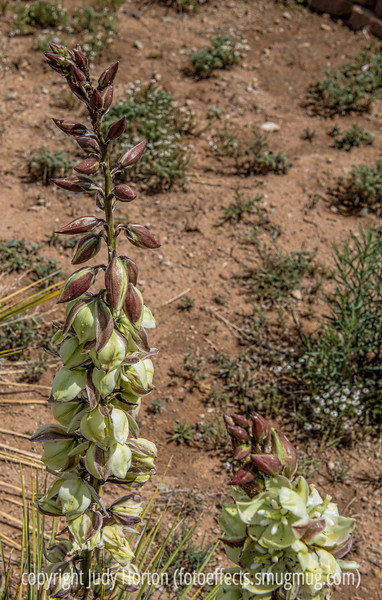 Yucca Blooms and Aphids