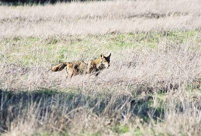 11/14/04 Coyote. Trans Preserve Trail
