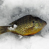 A fish that was caught by the ice fisherman in the earlier photo.  This was his only catch that he could keep that day.  He claimed to have got a nice bass earlier but as bass weren't in season, he'd had to throw it back.