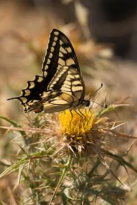 Corsican Swallowtail (Papilio hospiton)