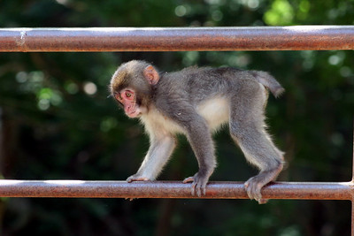 Little monkey walking across the railing