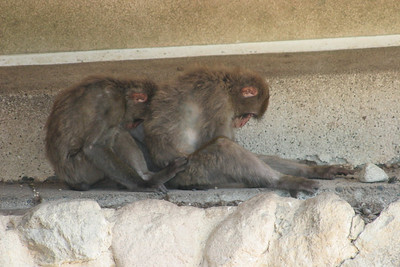 Some monkeys taking a nap