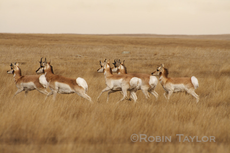 A group of Pronghorn, the second fastest land animal on earth