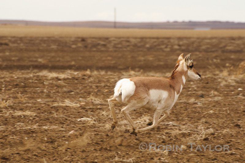 A Pronghorn, the second fastest land animal on earth