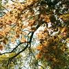 Live oak in spring color