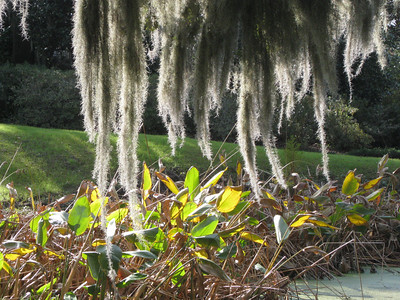 Spanish moss at Middleton Place, Charleston