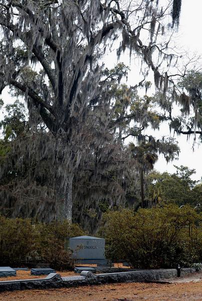 Tree with Spanish Moss in the Bonaventure Cemetery, Savannah, GA