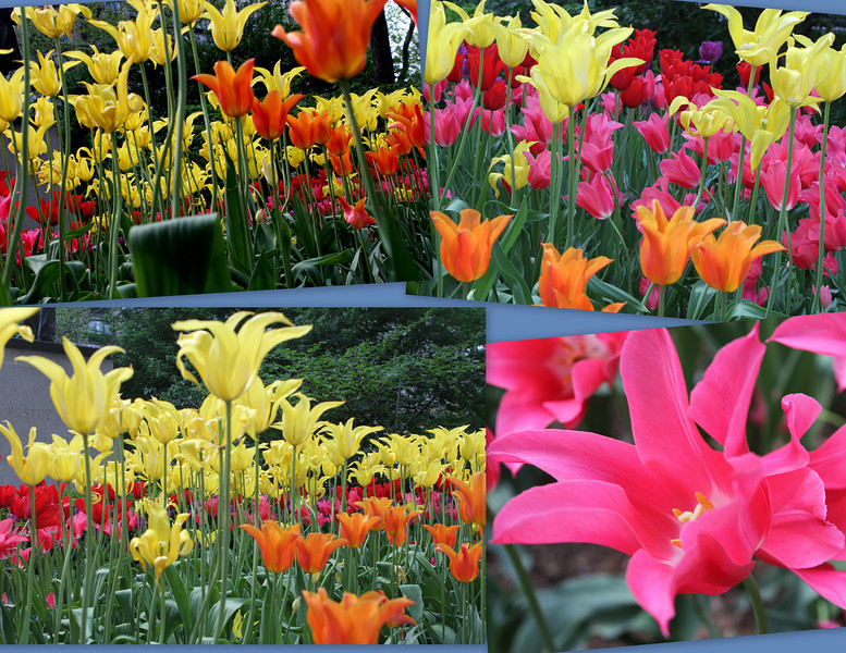 Thousands of lovely tulips at their peak in Madison Square Park - Spring is everywhere in the Big Apple