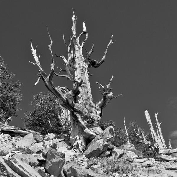 Bristlecone Pine Stag in B&W