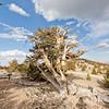 Bristlecone Pine in Patriach Grove