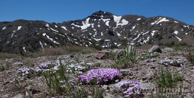 Phlox diffusa along PCT, Sonora Pass