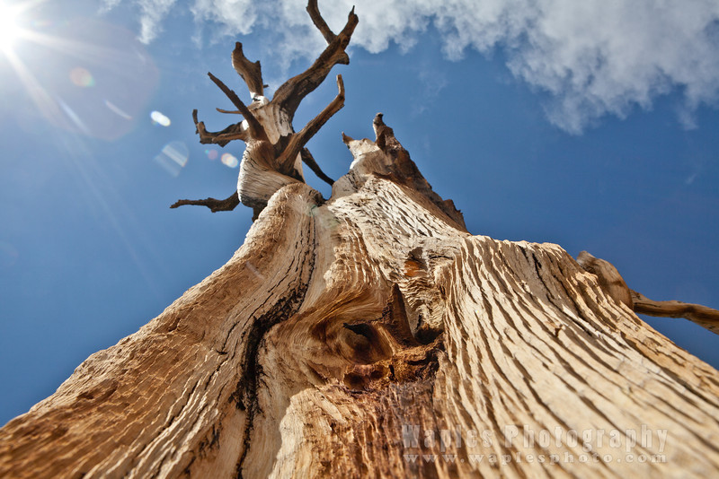 Bristlecone Pine Stag Reaching to the Sky