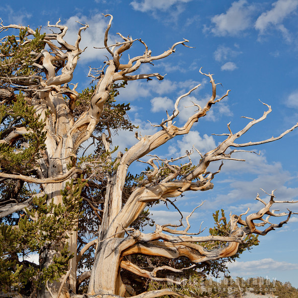 Craggy Limbs on an Ancient Bristlecone Pine