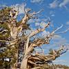 Craggy Limbs on an Ancient Bristlecone Pine