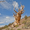 Along Discovery Trail, Bristlecone Forest