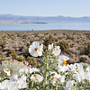 White Prickly Poppy and Mono Lake
