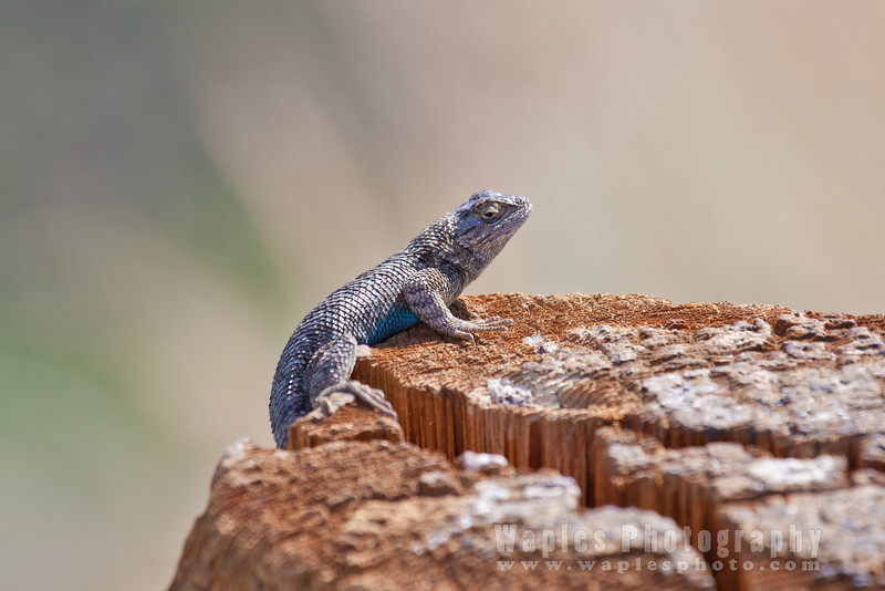 The Ubiquitous blue-bellied Western Fence Lizard
