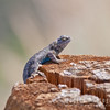The Ubiquitous blue-bellied Western Fence Lizard