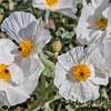 White Prickly Poppy Flower Closeup