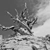 Bristlecone Pine on a Dolomite Slope