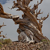Pinus longaeva, the Great Basin Bristlecone Pine