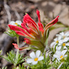 Scarlet Indian Paintbrush Flower
