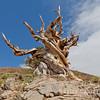 Magnifient Pinus longaeva