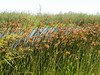 Reeds bending in the breeze.