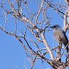 Blue Bird<br /> Grand Canyon