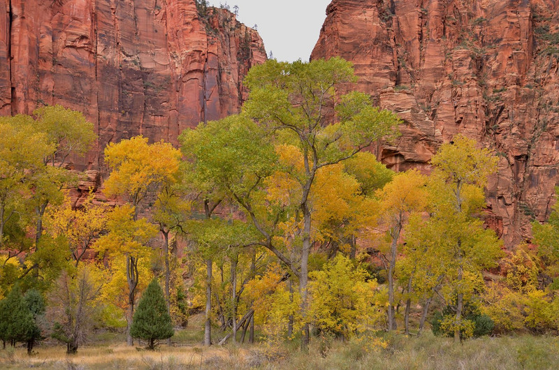 Cottonwoods on the turn<br /> Zion National Park, <br /> Utah