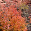 Autumn colours along Zion - Mount Carmel Highway<br /> Zion National Park<br /> Utah