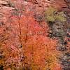 Autumn colours along Zion - Mount Carmel Highway<br /> Zion National Park<br /> Utah