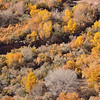 Cottonwoods crowd the wash in Canyon de Chelly<br /> Arizona