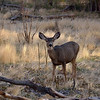 Mule Deer<br /> Zion National Park<br /> Utah