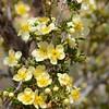 Yellow flower, Canyonlands