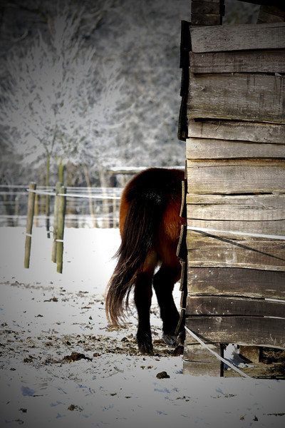 Winter horses in Schiplaken