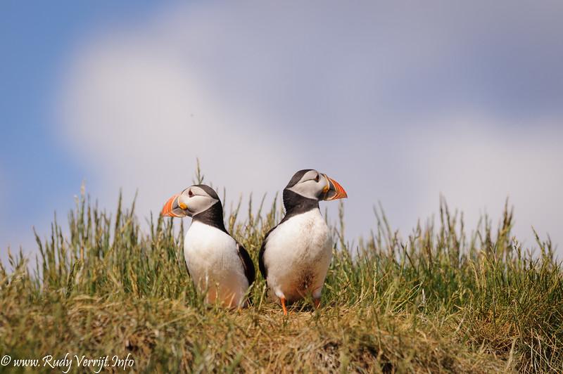 Schotland 2011 :The Farne Islands