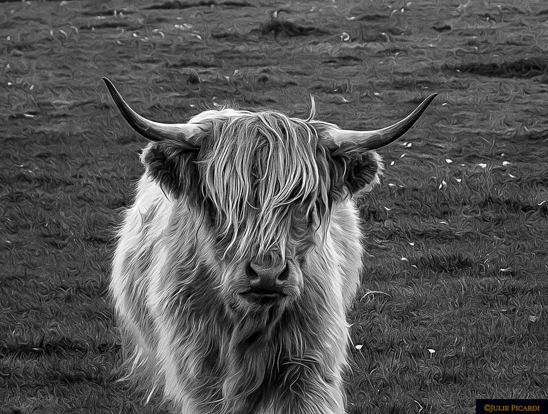 Highland Cow Portrait B/W