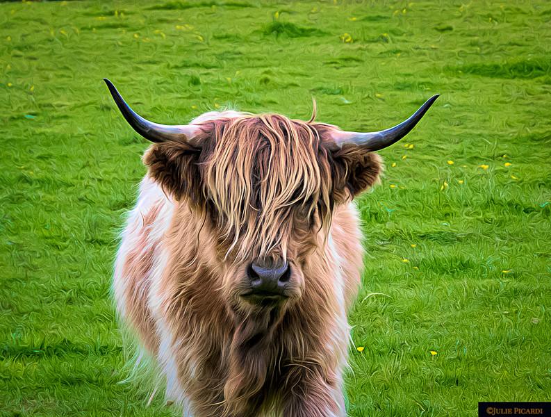 Highland Cow Portrait Color
